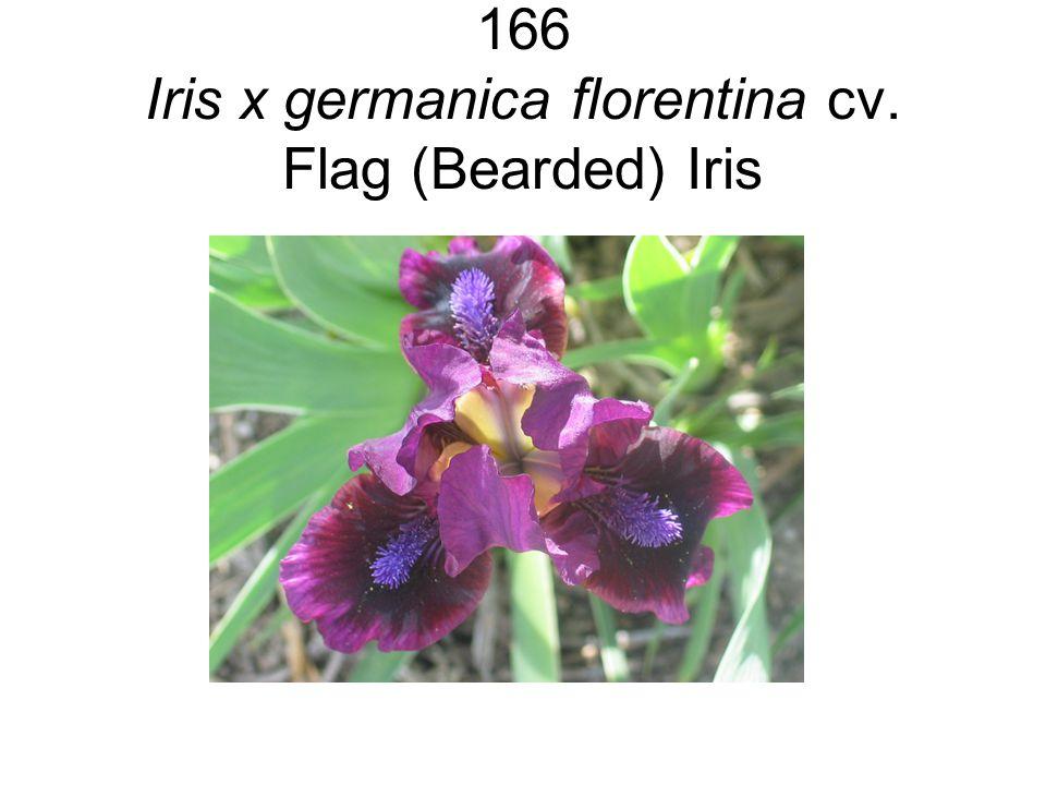 166 Iris x germanica florentina cv. Flag (Bearded) Iris