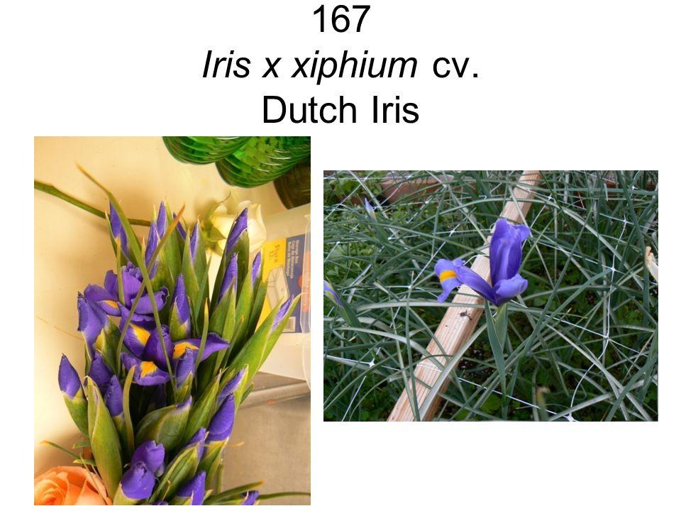 167 Iris x xiphium cv. Dutch Iris