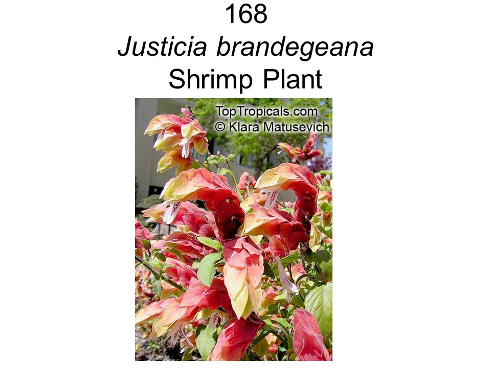 168 Justicia brandegeana Shrimp Plant