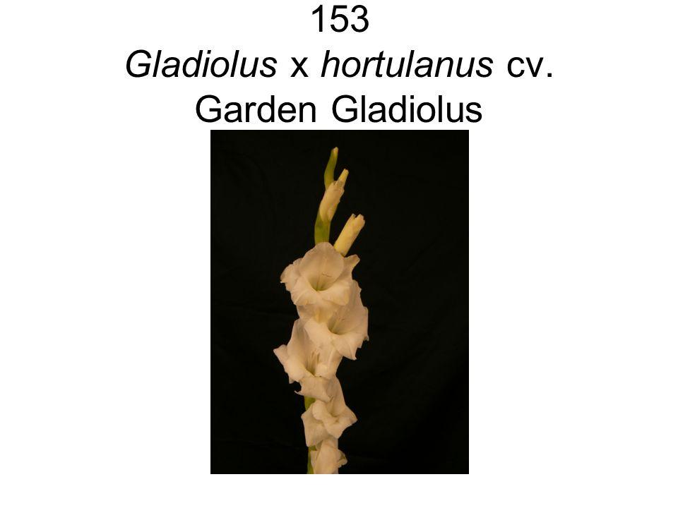 153 Gladiolus x hortulanus cv. Garden Gladiolus