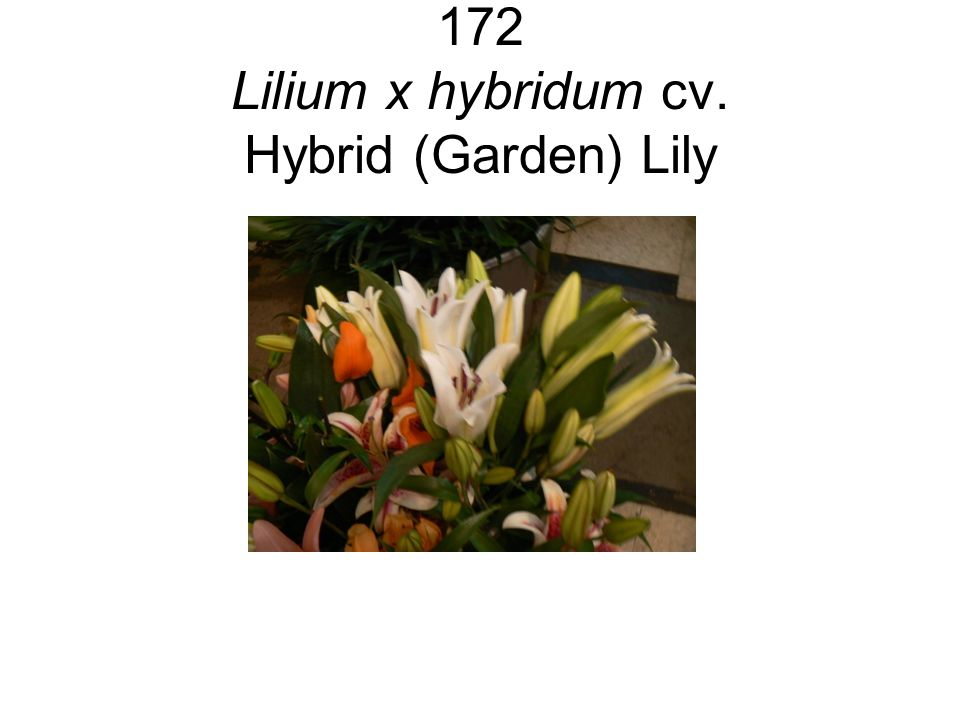 172 Lilium x hybridum cv. Hybrid (Garden) Lily