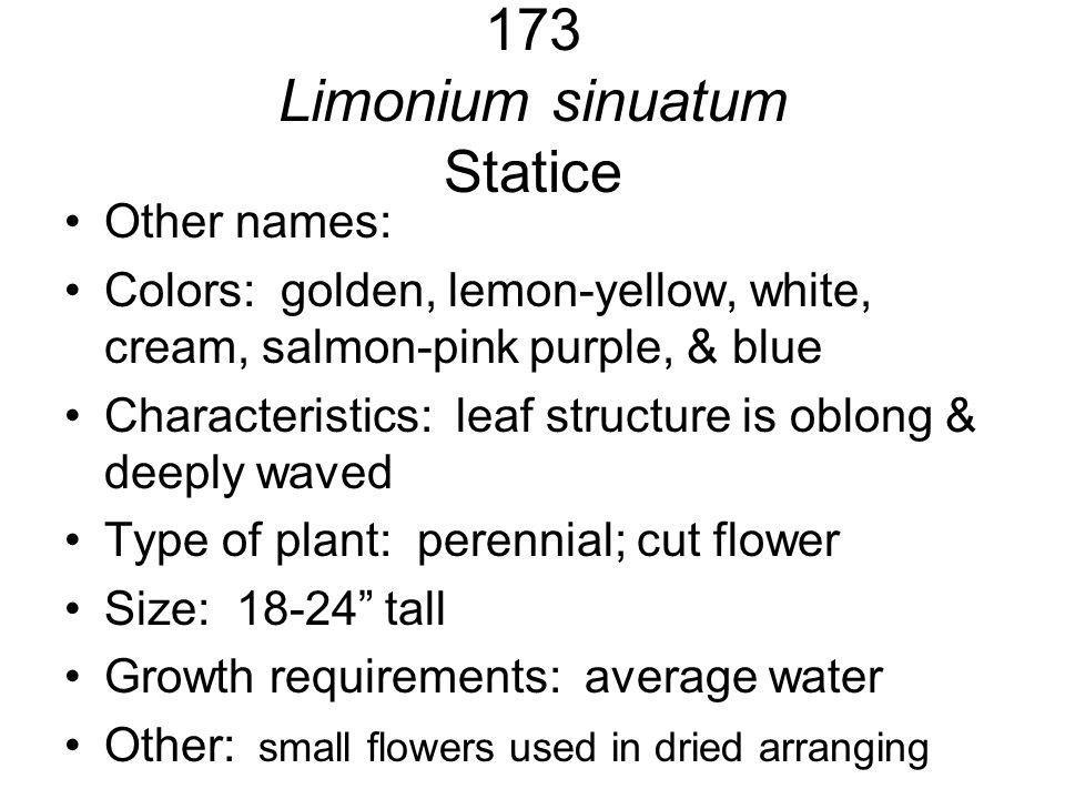 173 Limonium sinuatum Statice