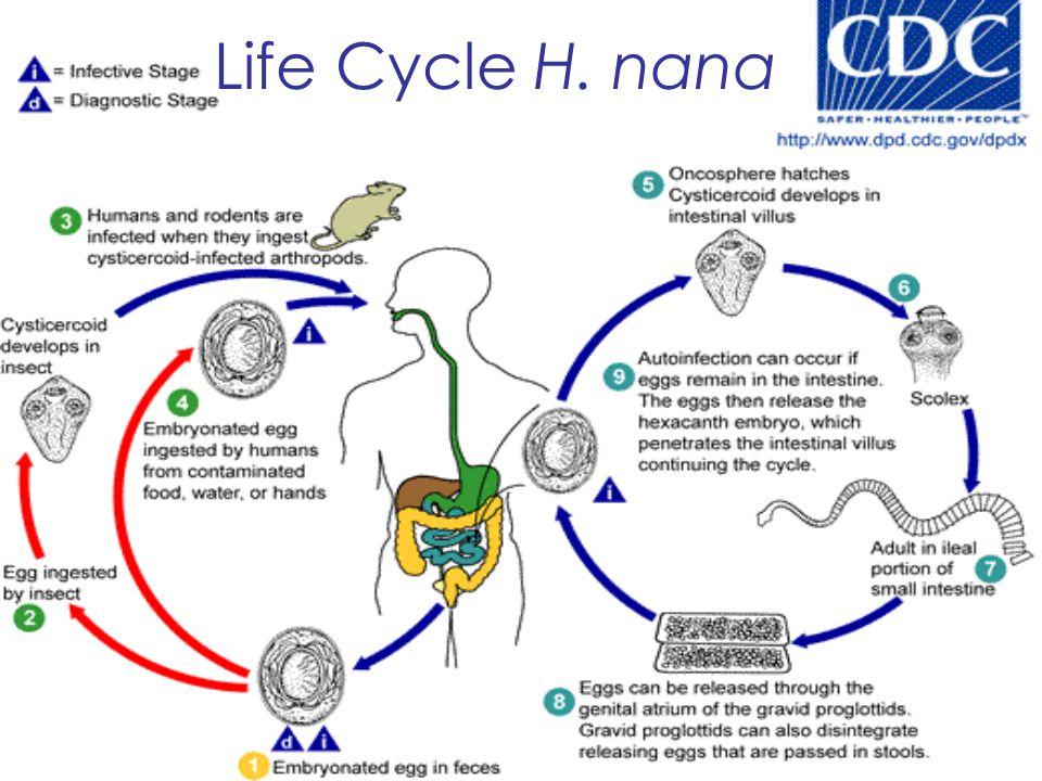 Life Cycle H. nana