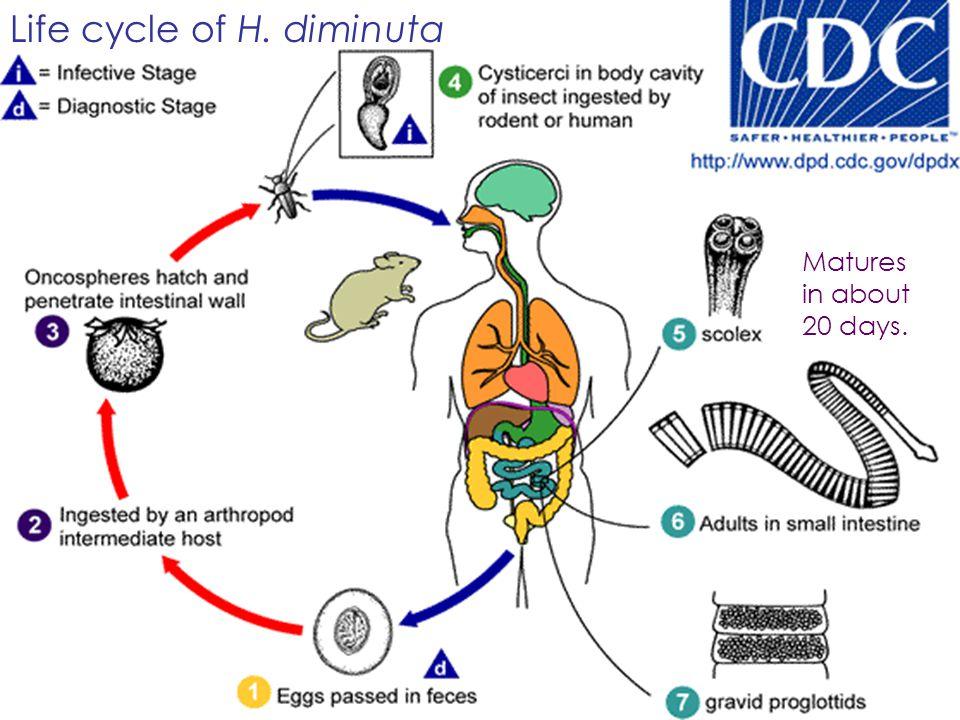 Life cycle of H. diminuta