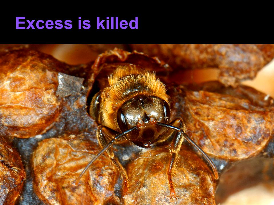 Excess is killed Immediately afterwards, the workers aggress and kill the queen.