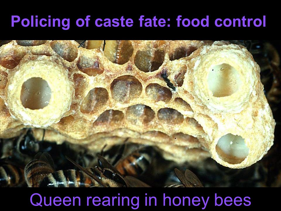 Honey bee multiply mated: Rf=0.3, Rm=0.25