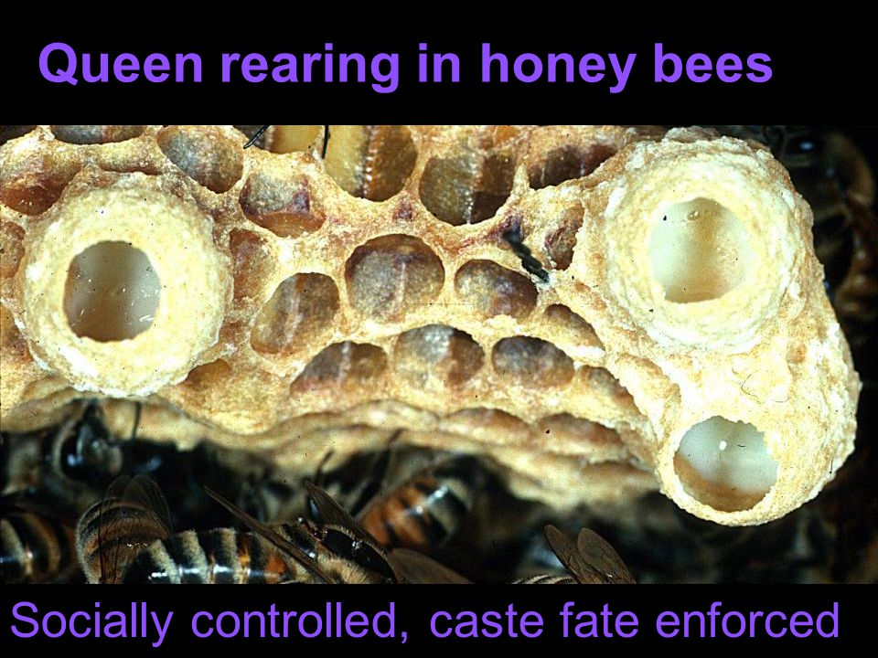 Exception: Melipona stingless bees