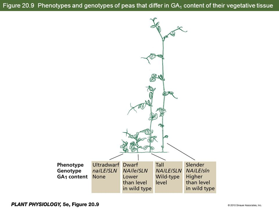 Figure 20.9 Phenotypes and genotypes of peas that differ in GA1 content of their vegetative tissue