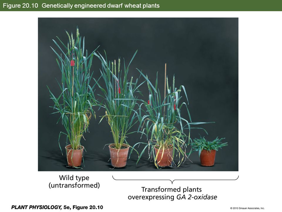 Figure 20.10 Genetically engineered dwarf wheat plants