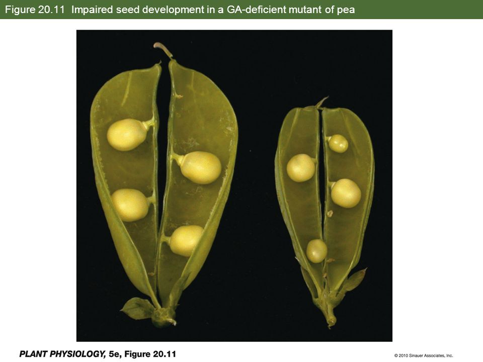 Figure 20.11 Impaired seed development in a GA-deficient mutant of pea