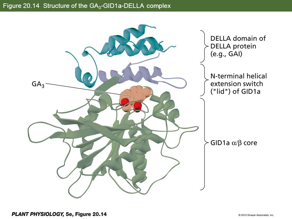 Figure 20.14 Structure of the GA3-GID1a-DELLA complex