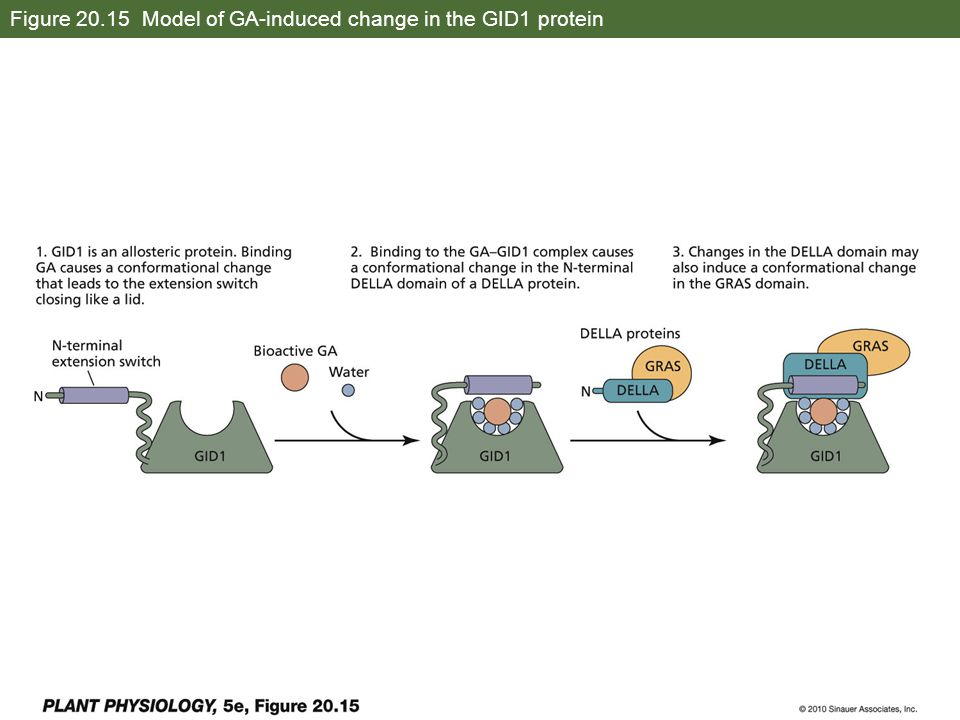 Figure 20.15 Model of GA-induced change in the GID1 protein