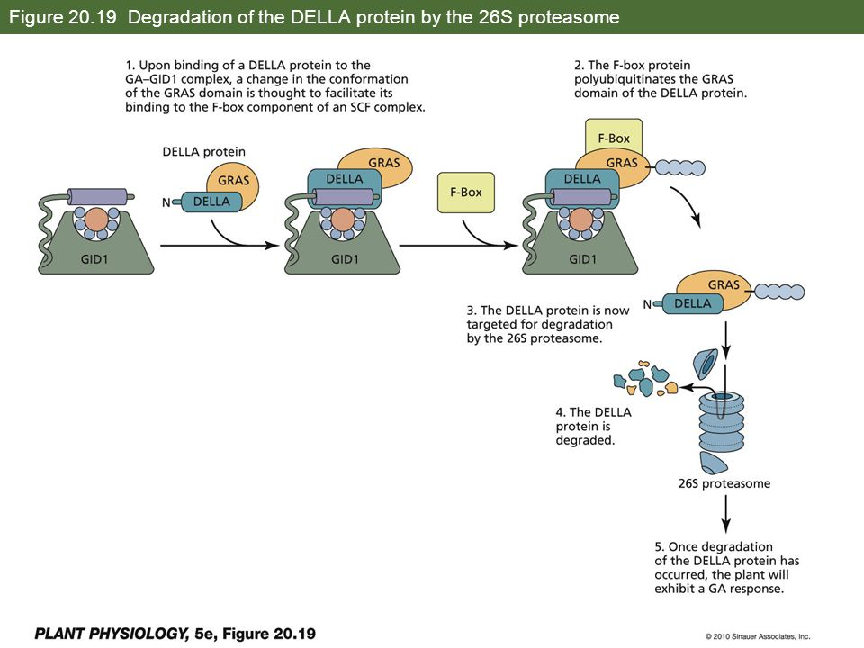 Figure 20.19 Degradation of the DELLA protein by the 26S proteasome