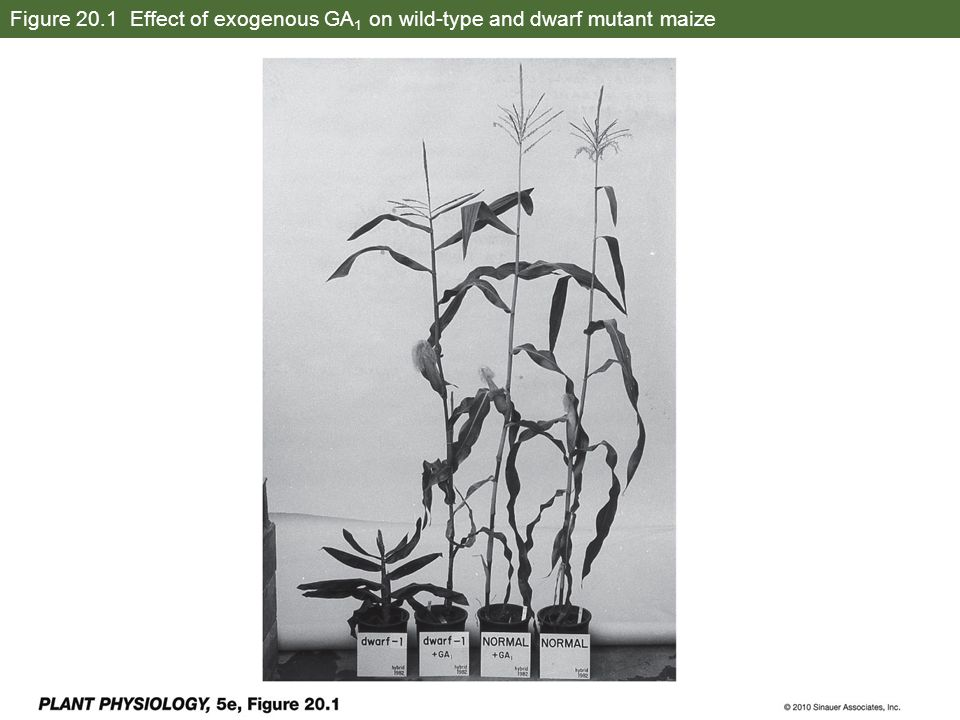Figure 20.1 Effect of exogenous GA1 on wild-type and dwarf mutant maize