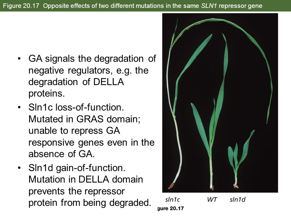 Figure 20.17 Opposite effects of two different mutations in the same SLN1 repressor gene