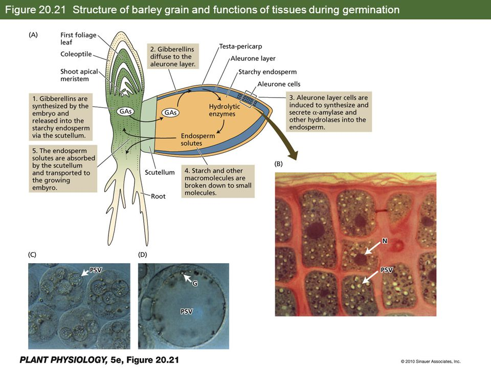 Figure 20.21 Structure of barley grain and functions of tissues during germination