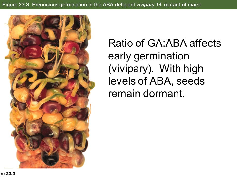 Figure 23.3 Precocious germination in the ABA-deficient vivipary 14 mutant of maize