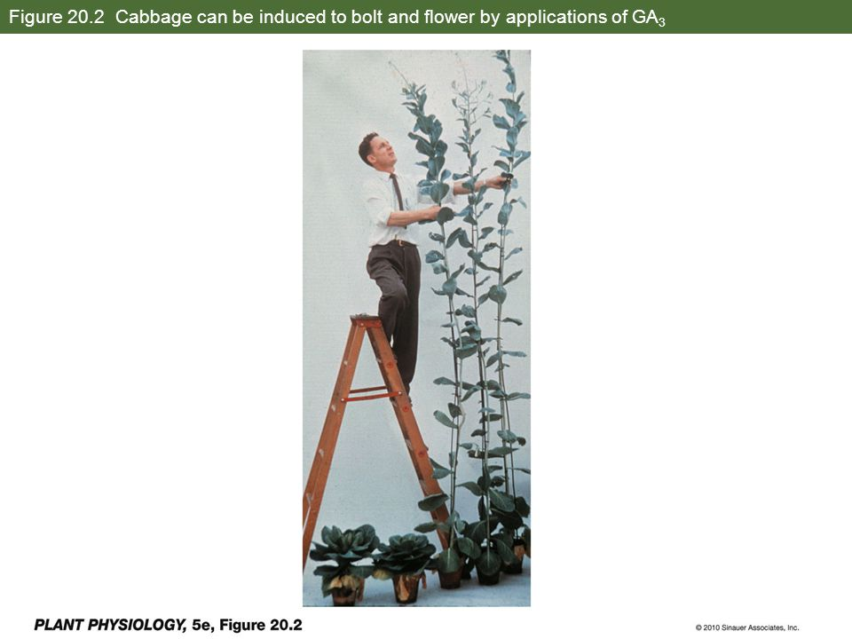 Figure 20.2 Cabbage can be induced to bolt and flower by applications of GA3