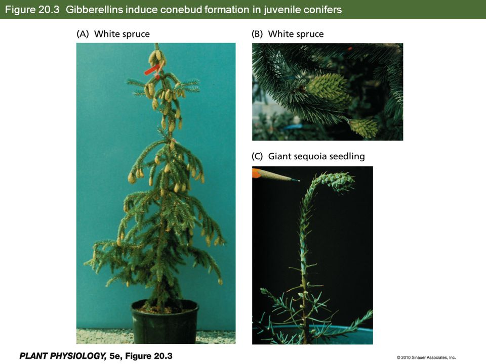 Figure 20.3 Gibberellins induce conebud formation in juvenile conifers