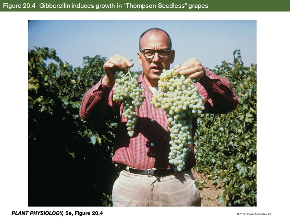 Figure 20.4 Gibberellin induces growth in Thompson Seedless grapes