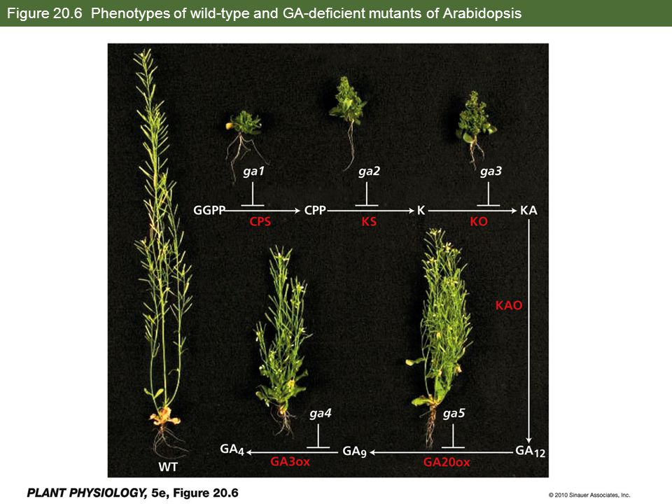 Figure 20.6 Phenotypes of wild-type and GA-deficient mutants of Arabidopsis