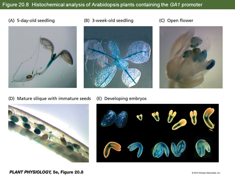 Figure 20.8 Histochemical analysis of Arabidopsis plants containing the GA1 promoter