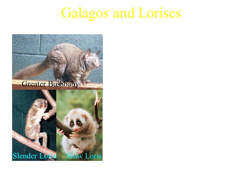 Galagos and Lorises Examples of Galagos: Characteristics: