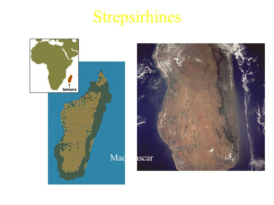 Strepsirhines Malagasy Strepsirhines Madagascar