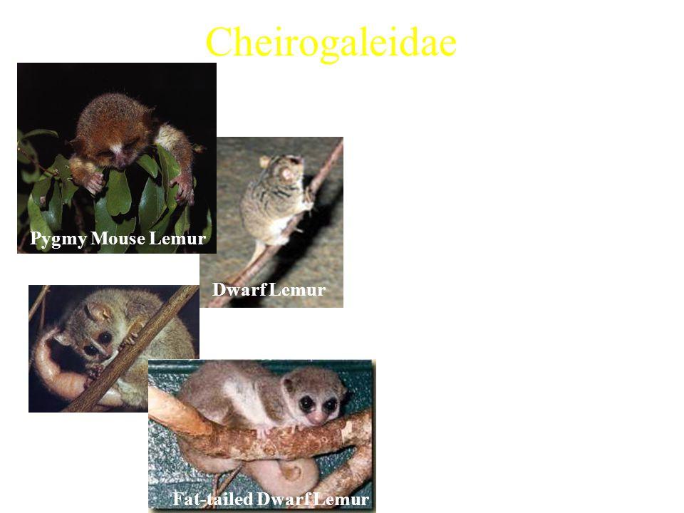 Cheirogaleidae 5 extant genera Examples: Characteristics: