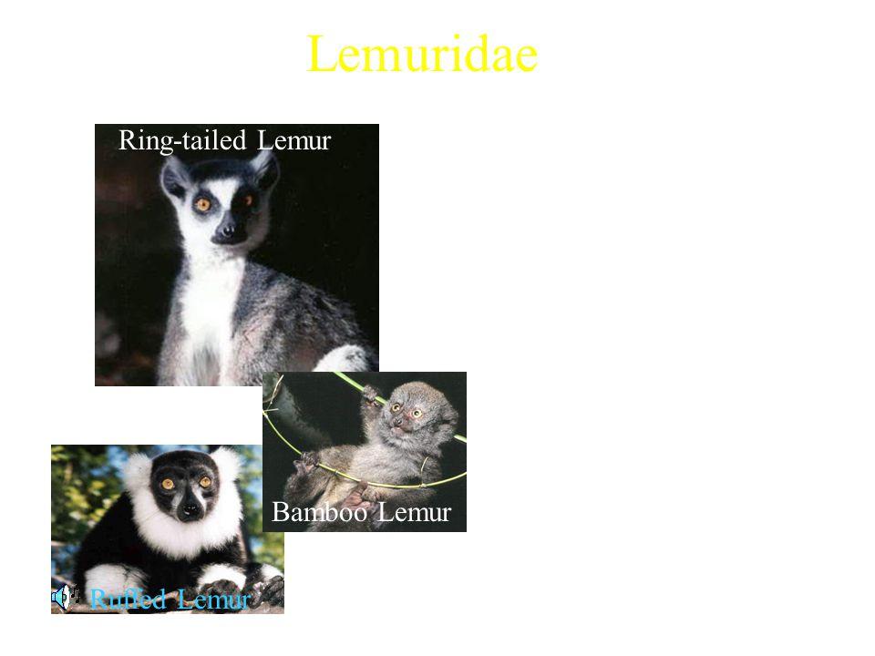 Lemuridae 4 extant genera Examples: Characteristics: Ring-tailed Lemur