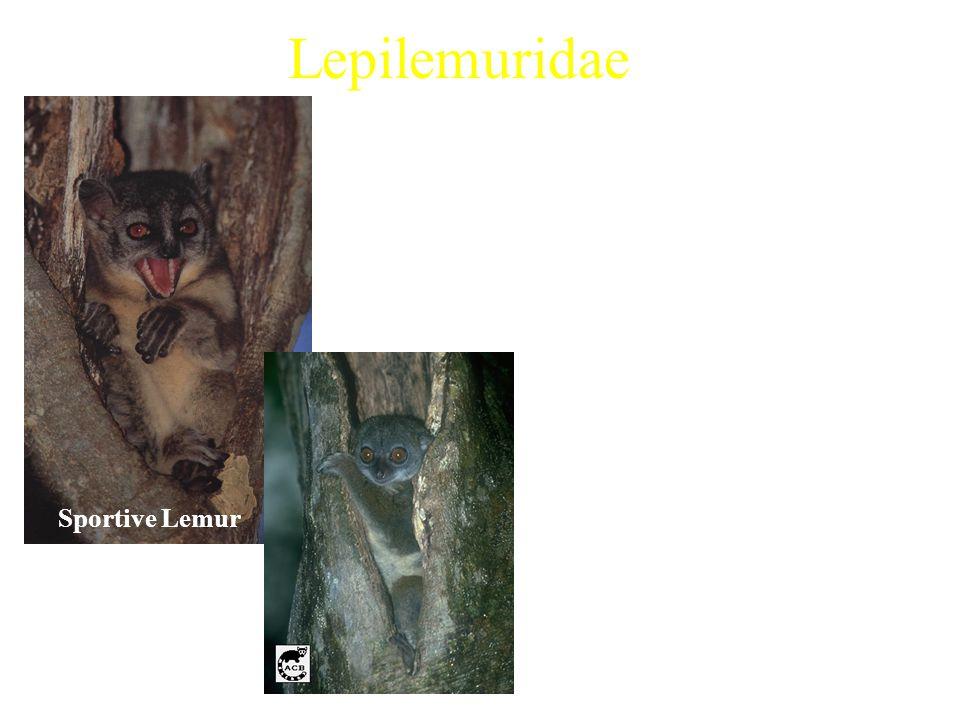 Lepilemuridae 1 extant genus Examples: Characteristics: