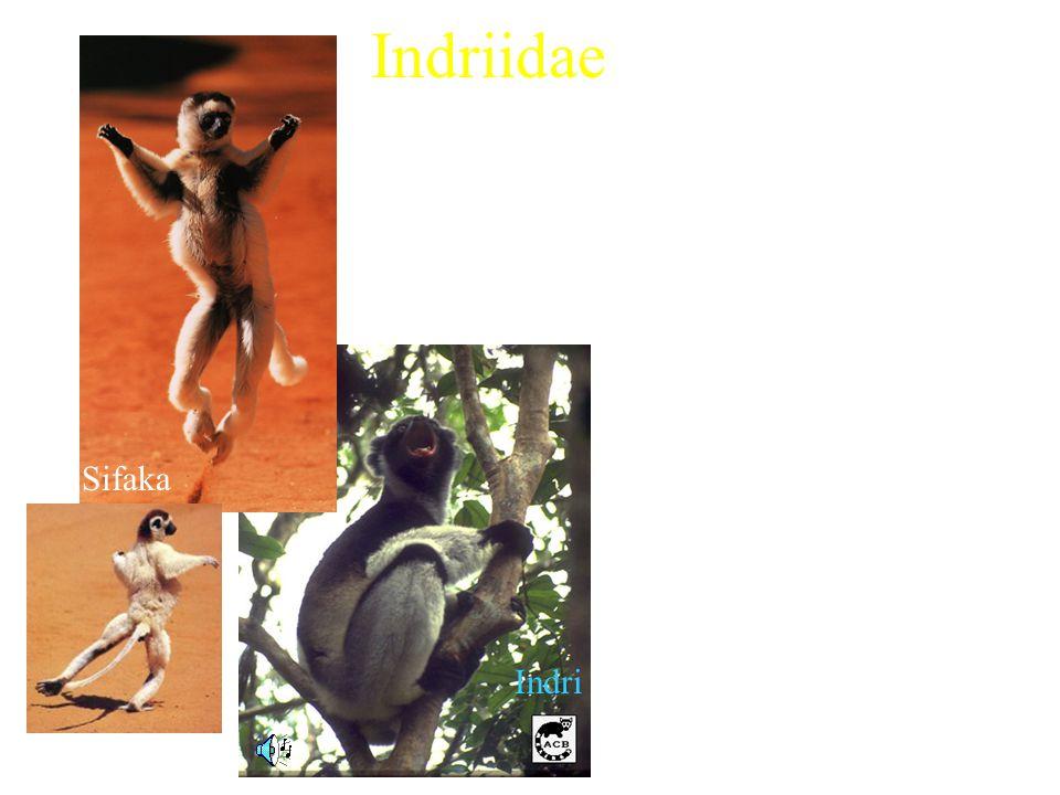 Indriidae 3 extant genera Includes: Characteristics: Sifaka Indri