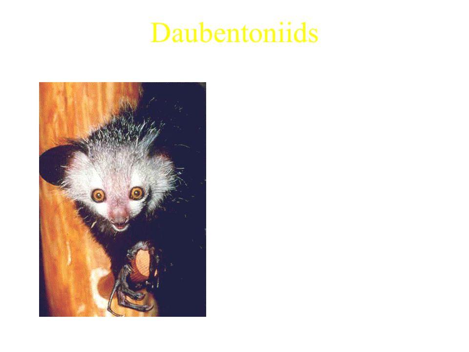 Daubentoniids Aye-aye (only extant species) Characteristics: