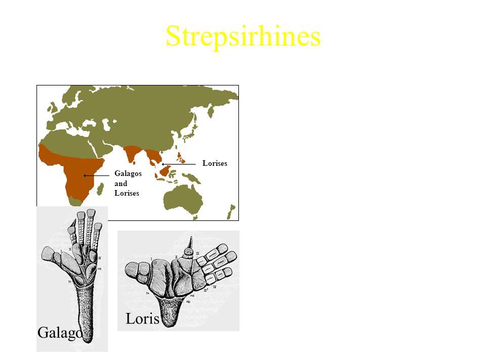 Strepsirhines Mainland Africa Strepsirhines Includes: Characteristics: