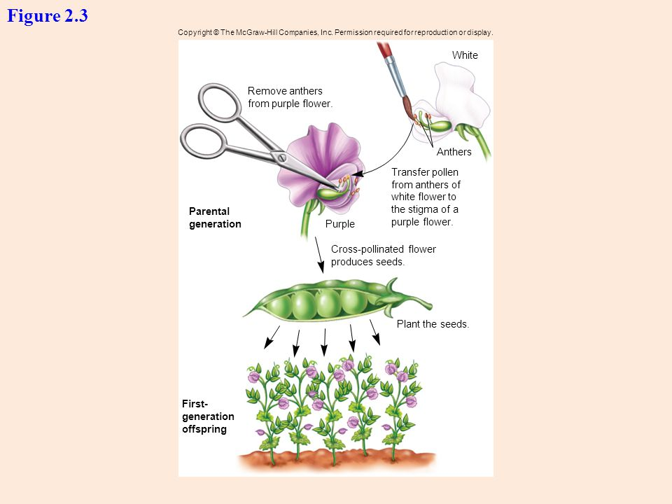 Figure 2.3 White Remove anthers from purple flower. Anthers