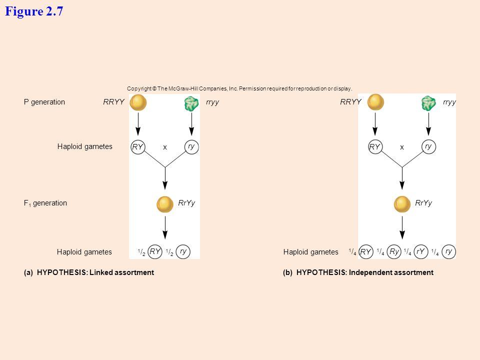 Figure 2.7 P generation RRYY rryy RRYY rryy Haploid gametes RY x ry RY