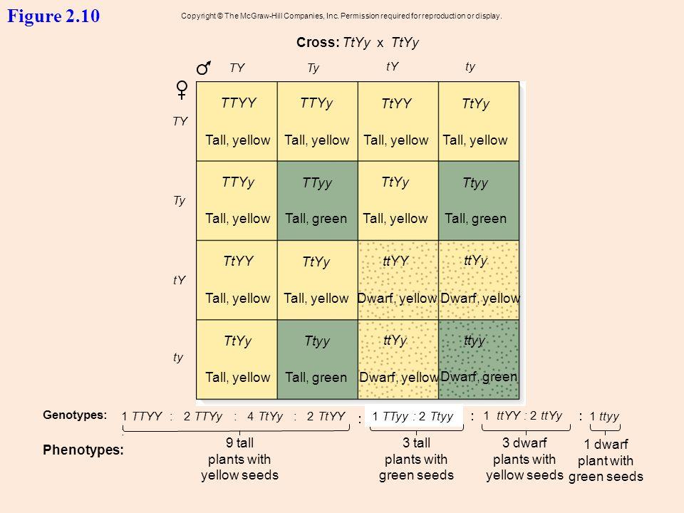 Figure 2.10 Cross: TtYy x TtYy TTYY TTYy TtYY TtYy Tall, yellow
