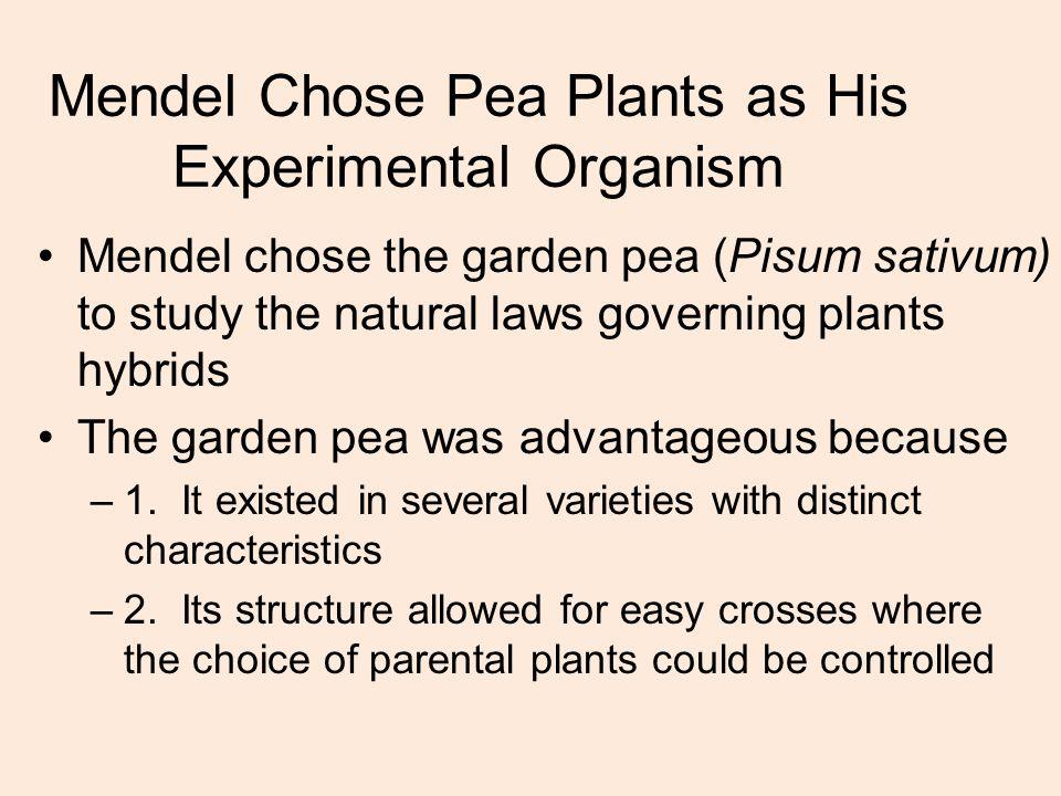 Mendel Chose Pea Plants as His Experimental Organism