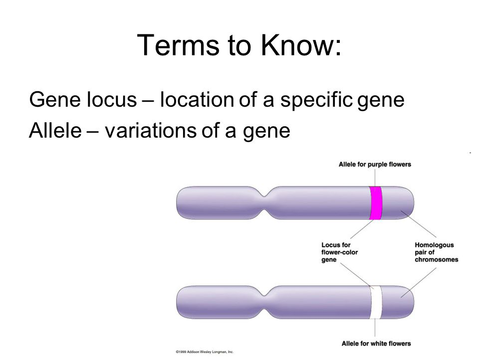 Terms to Know: Gene locus – location of a specific gene