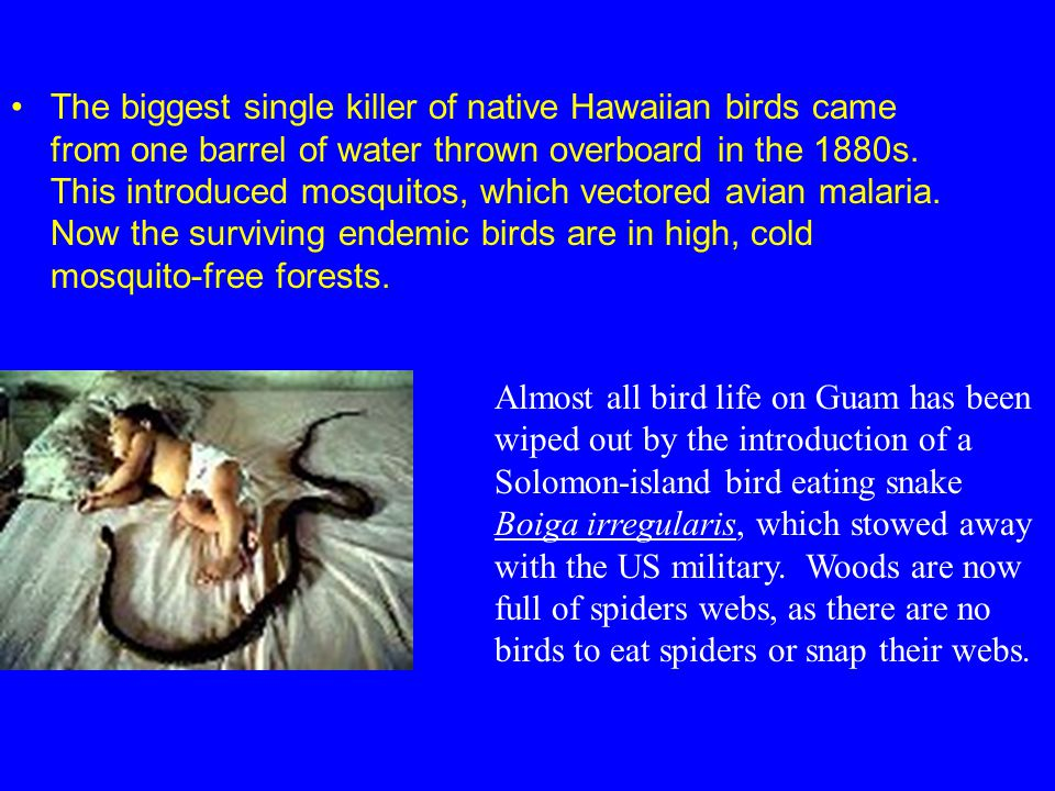 The biggest single killer of native Hawaiian birds came from one barrel of water thrown overboard in the 1880s. This introduced mosquitos, which vectored avian malaria. Now the surviving endemic birds are in high, cold mosquito-free forests.
