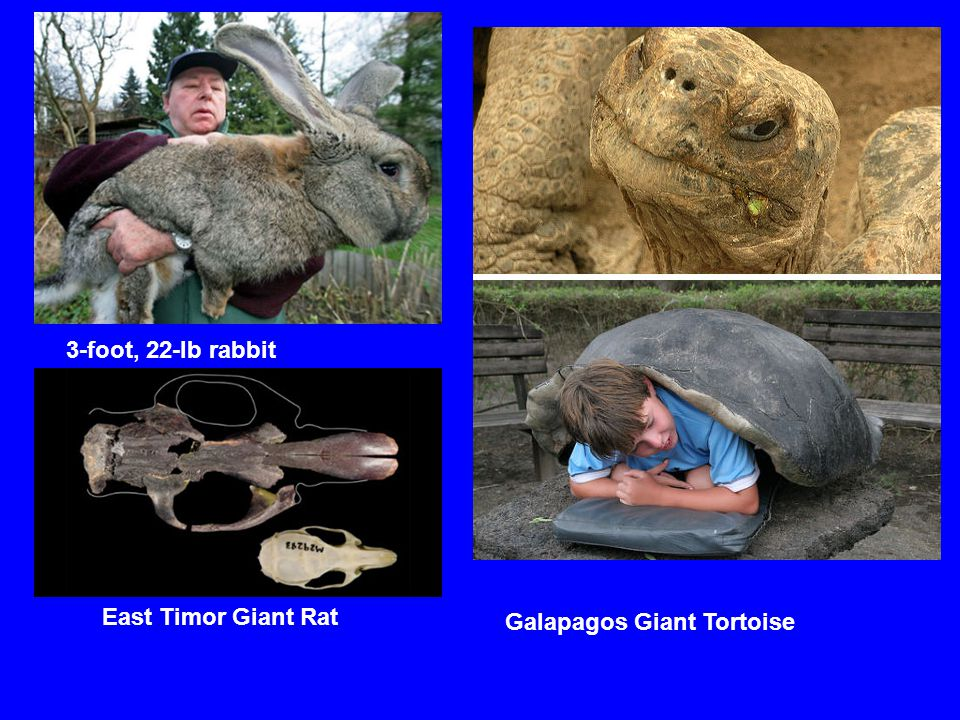 3-foot, 22-lb rabbit East Timor Giant Rat Galapagos Giant Tortoise