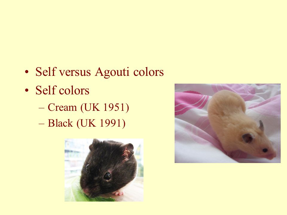 Self versus Agouti colors Self colors