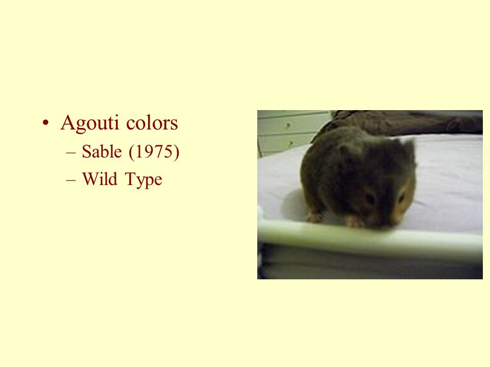 Agouti colors Sable (1975) Wild Type