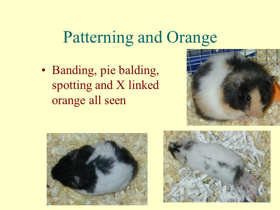 Patterning and Orange Banding, pie balding, spotting and X linked orange all seen