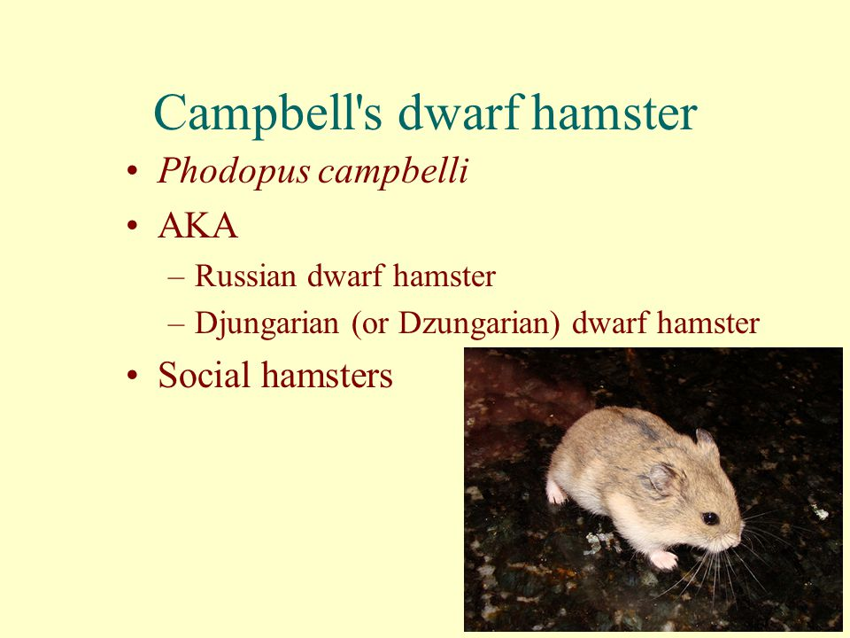 Campbell s dwarf hamster