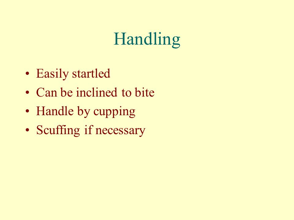Handling Easily startled Can be inclined to bite Handle by cupping