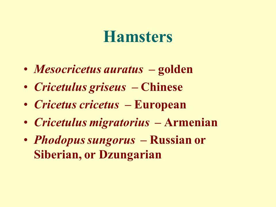 Hamsters Mesocricetus auratus – golden Cricetulus griseus – Chinese
