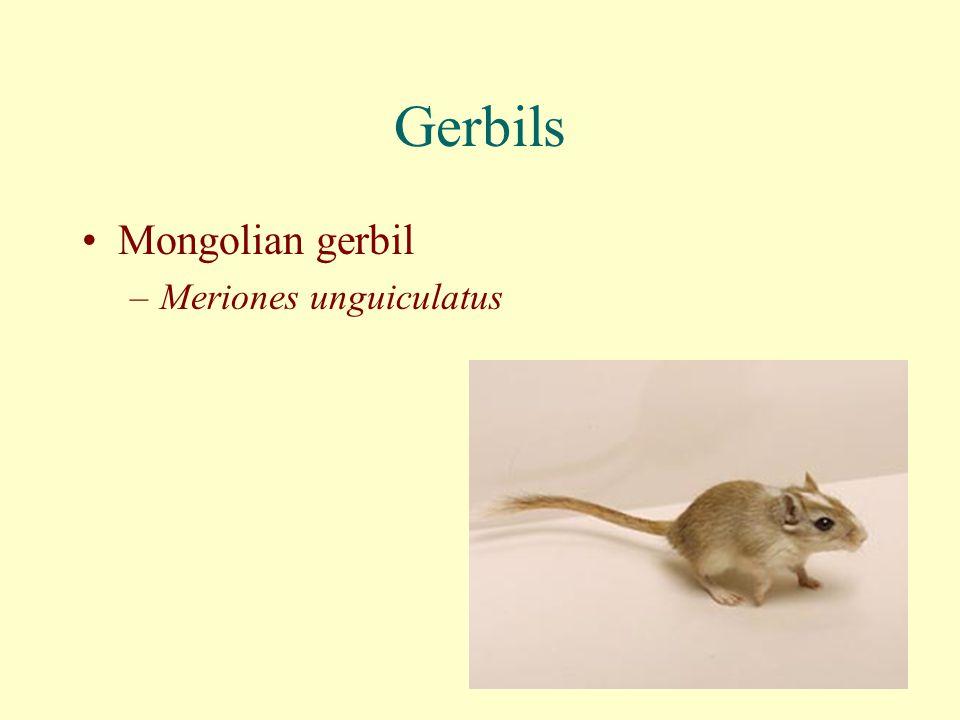 Gerbils Mongolian gerbil Meriones unguiculatus