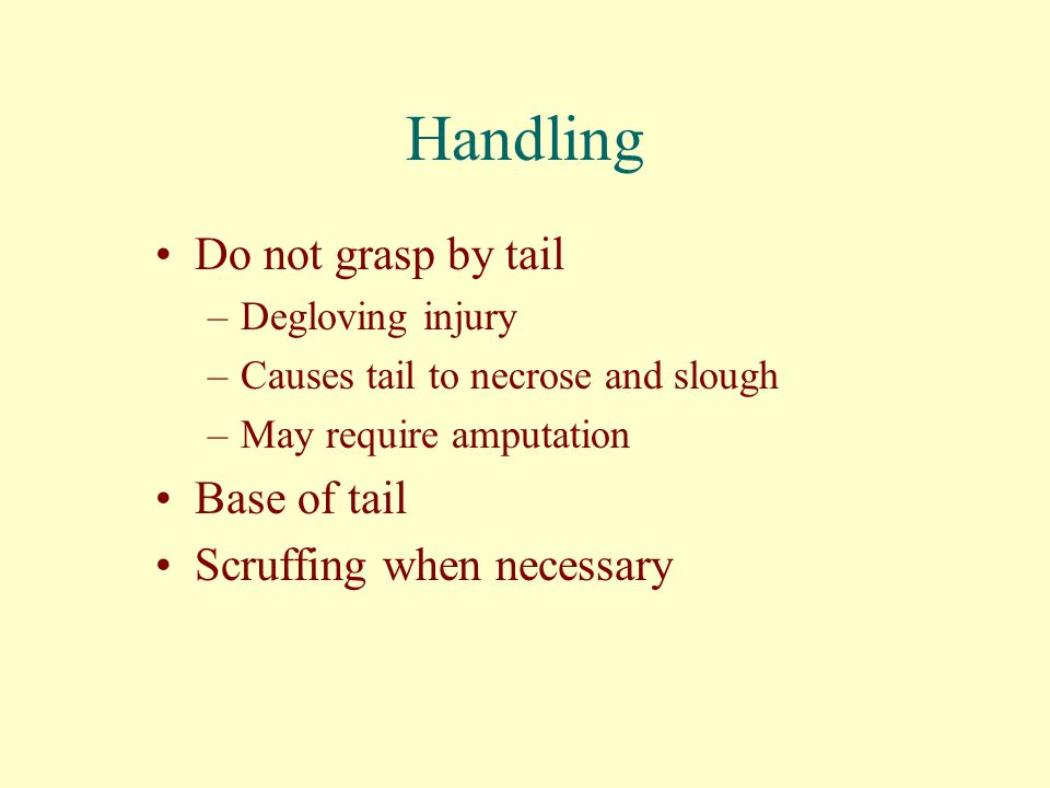 Handling Do not grasp by tail Base of tail Scruffing when necessary