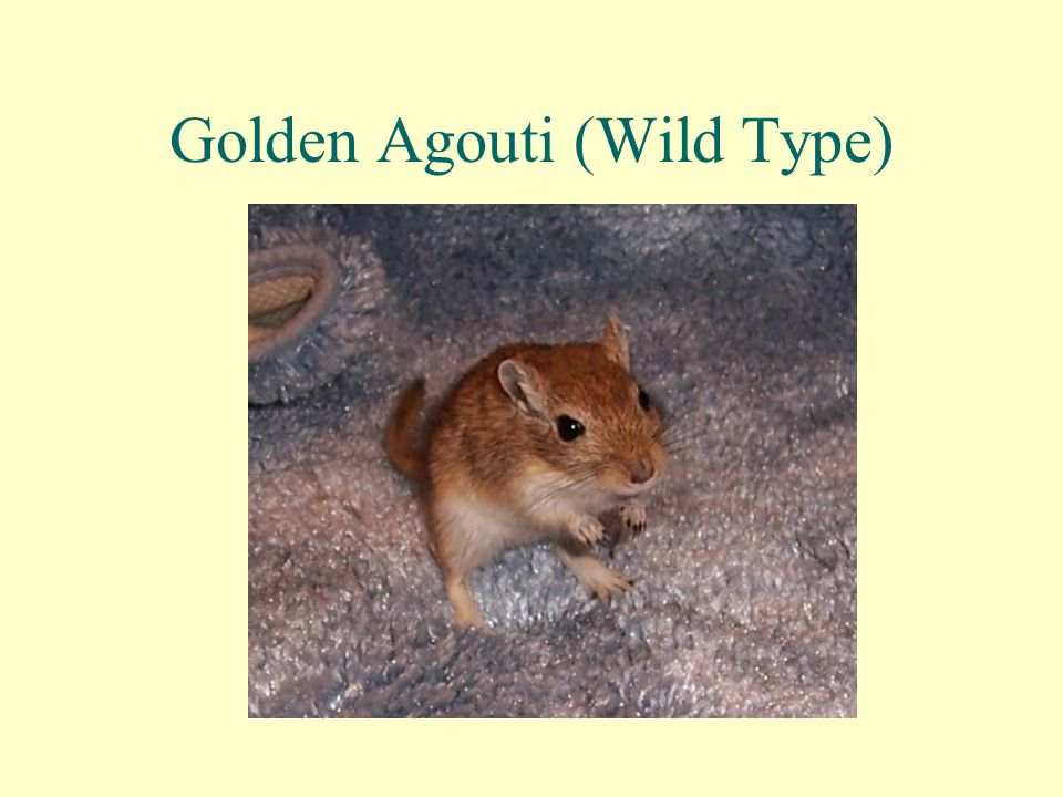 Golden Agouti (Wild Type)